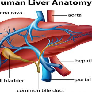 The Ins and Outs of Liver Health
